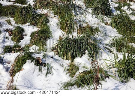 Clumps Of Grass Covered With White Snow In Wintertime