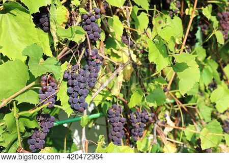 Ripening Blue Grapes On A Vine With Green Leaves