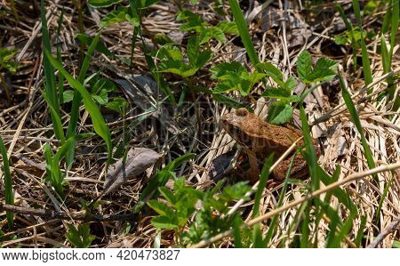 Common Frog, Also Known As The European Common Brown Frog Or European Grass Frog, Sitting In Spring
