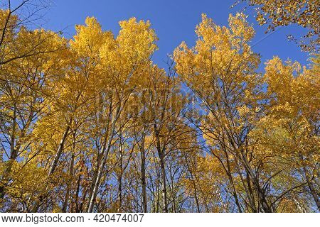 Yellow Forest Reaching To The Sky In Great River Bluffs State Park In Minnesota