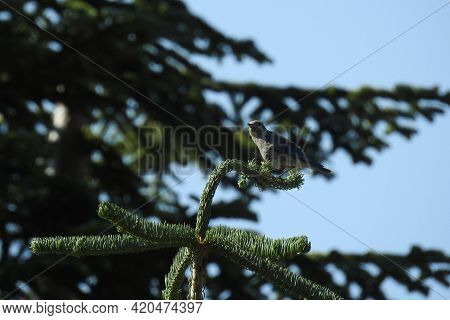 A Female Mountain Bluebird Perched On Top Of A Pine Tree In The Mount Shasta Wilderness, In Northern