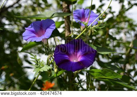 Beautiful Ipomoea Flowers With Light And Dark Violet Petals.