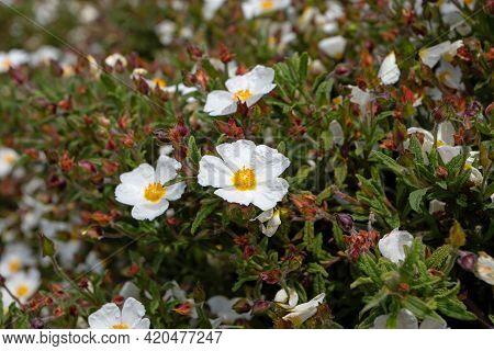 Cistus Salviifolius White Flowers. Sage-leaved Rock-rose Or Salvia Cistus Or Gallipoli Rose Flowerin