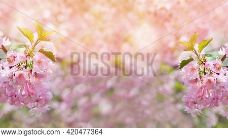 Summer Cherry Blossom Background With Blurred Background And Copy Space.