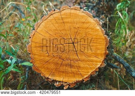 Sawn Trees From Forest. Logging Timber Wood Industry. Log Trunk. Deforestation For Safety.
