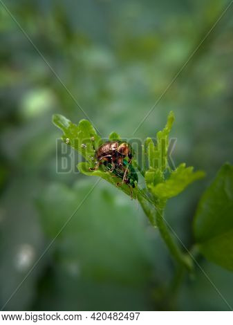 Picture Of Two Green Doc Beetle Mating