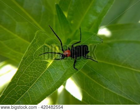 Picture Of Red Headed Blister Beetle Or Lytta Magister Sitting On Leaf. Himachal Pradesh, India
