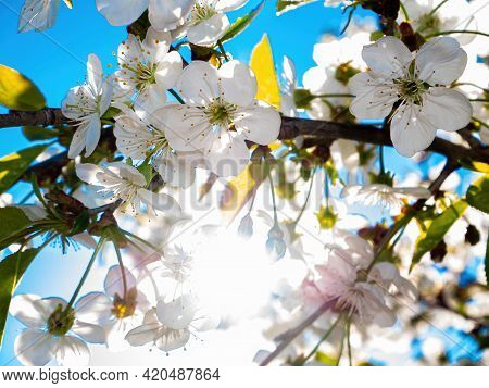 White Flowers Of Blooming Cherry In Sunbeams. Blooming Cherry. Sunlight. White Flowers. Blue Sky. Gr