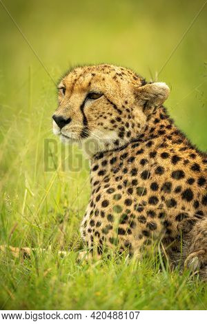 Close-up Of Cheetah Lying Down On Grass