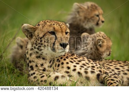 Close-up Of Cheetah Lying Down With Cubs