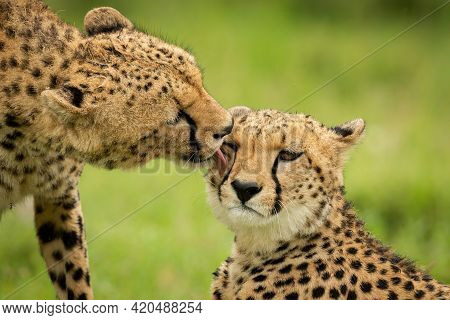Close-up Of Cheetah Licking One Lying Down