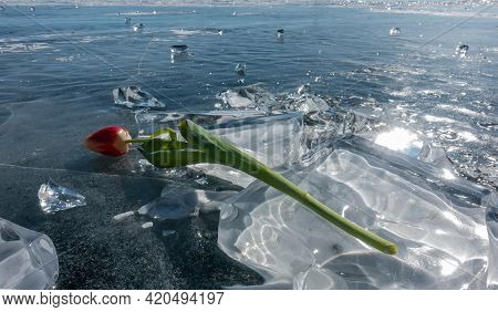 Glittering Shards Of Ice Are Scattered Across The Frozen Lake. Above Is A Bright Red-yellow Tulip On