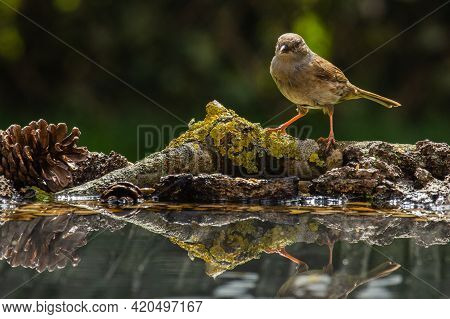 House Sparrow (passer Domesticus) In A Perch By The Water