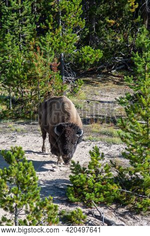 Bison Grazing On A Meadow In Yellowstone National Park