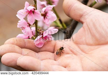 An Elderly Man Holding A Bee, Control Situation In Bee Colony.
