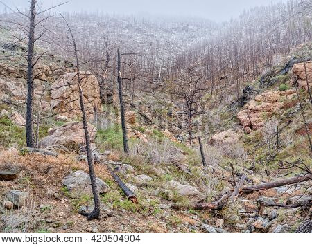 Forest burned by recent wildfire in the Poudre Canyon west of Fort Collins, Colorado, rainy and snowy springtime scenery