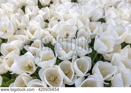 Top View Field White Tulip Flowers In The Netherlands