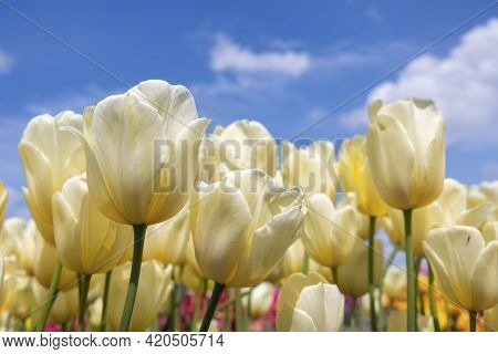 Dutch Field Beautiful Yellow Tulip Flowers With White Clouds In Blue Sky