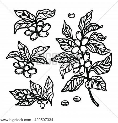 Coffee Outline Collection With Berries And Leaves Of Coffee Tree Monochrome Design In Vintage Style