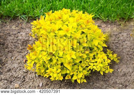 A Plant With Beautiful Bright Yellow Leaves In The Ground Against A Background Of Young Green Grass.