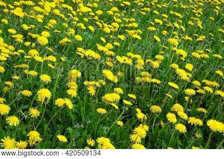 Lot Of Blooming Yellow Dandelions On Green Field As Natural Background Side View Closeup