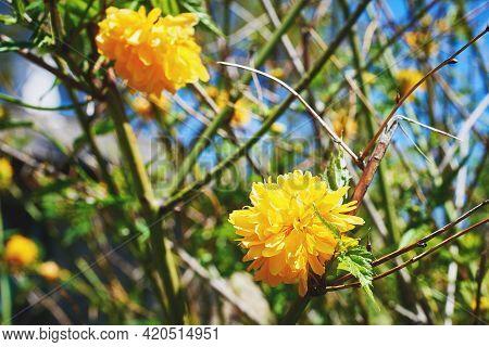 Flowering Bush Kerria Japanese Terry. Beautiful Yellow Flowers In The Spring Garden. Close-up, Macro