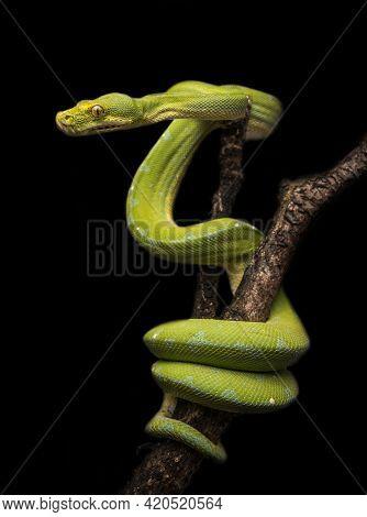 Poisonous Snake, Malayan Pit Viper (calloselasma Rhodostoma)