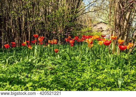 Row Of Red, Yellow And Orange Tulips Growing Wild In Garden. Tulips Blooming In Midst Of Uncut Green