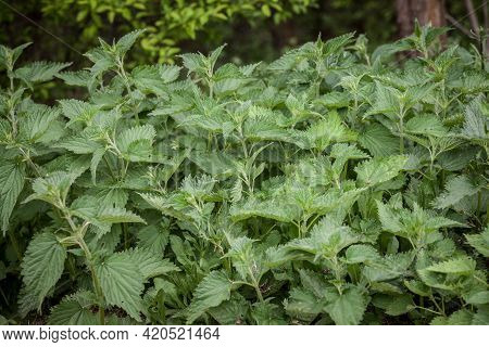Common Nettle Bush, Invading A Meadow, With Blooming Flowers In Summer. Also Called Urtica Dioica, T