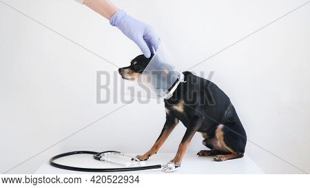 Veterinarian In White Medical Gown And Blue Gloves Stroking Small Black Toy Terrier Dog In Medical P