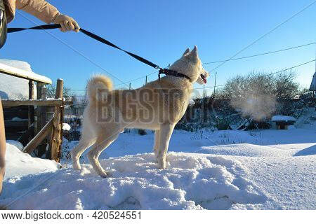 White Purebred Dog Laika Walks In Winter With Its Owner In The Snow On A Bright Sunny Day. Purebred