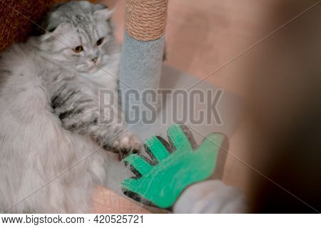 Grey Cat Get Scared Of Rubber Green Glove To Cleaning  Wool. Afraid. Combing. Shedding. Hairbrush