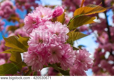 Blossoming Orchard In The Spring. Blooming Sweet Cherry Blossom Or Sakura Orchard Tree On A Blue Sky