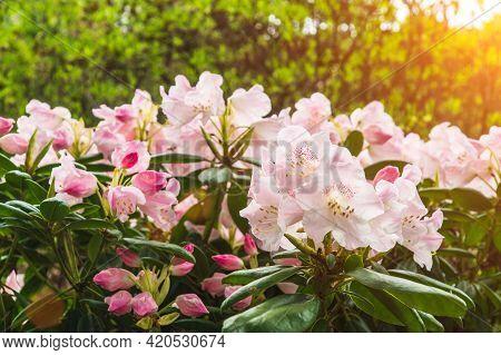 Rhododendron Simsii Indian Azalea, Simss Azalea. The Attractively Wild Rose, Magenta Or Dark Red Sha