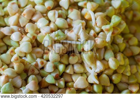 Macro Photo Of Sprouted Green Buckwheat With Sprouts And Roots For Healthy Nutrition.