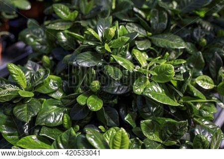 Gardenia Jasminoides J.ellis, The Gardenia, Cape Jasmine, Cape Jessamine, Danh-danh, Or Jasmin, Is A