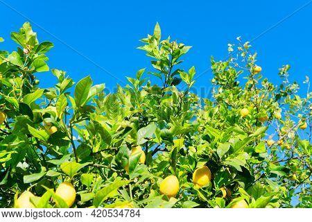 Lemon Garden With Fruits On Blue Sky Background, Soller Traditional Lemon Garden