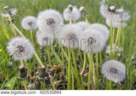 White Dandelion Blowballs In Green Meadow Field
