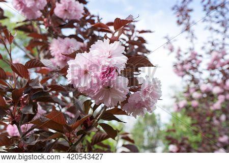 Pink Tree, Sakura Kanzan. Prunus Serrulata. Cerasus Serrulata. Sekiyama. Japanese Cherry Blossom, Sp