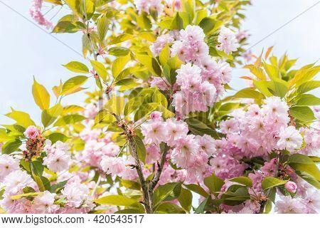 Blossom In Spring, Sakura Kanzan. Prunus Serrulata. Cerasus Serrulata. Sekiyama. Japanese Cherry Blo