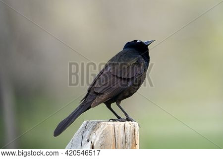 Common Grackle Bird Or Quiscalus Quiscula Perched On Fence Post Looking At Sky Bird Watching A Bird
