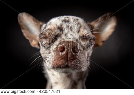 Dreamly Face Of Merle Chihuahua Dog Close-up Wide Angle Lens Portrait. Sweet Nose, Closed Eyes. Dog
