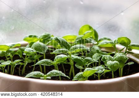 Green Young Shoots Of Basil Grown At Home In A Flower Pot. Plant Growing At Home.