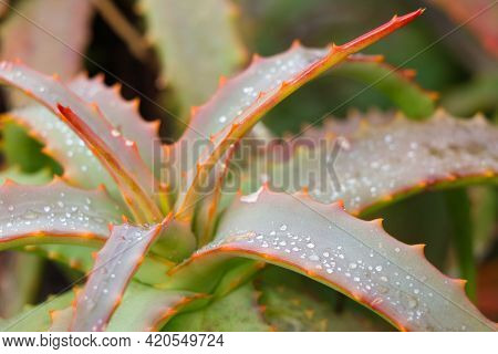 Rain Drops On Serrated Octopus Aloe Leaves (aloe Vanbalenii), South Africa