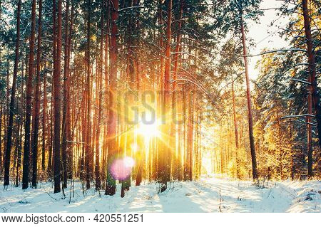 Beautiful Sunset Sunrise Sun Sunshine In Sunny Winter Snowy Coniferous Forest. Natural Sunlight Thro