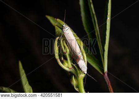 Adult Ornamented Bella Moth