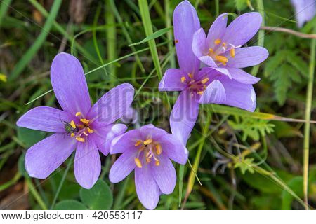 Close-up Of Autumn Crocus With Green Insect In The Blossom On A Cattle Pasture In Thuringia