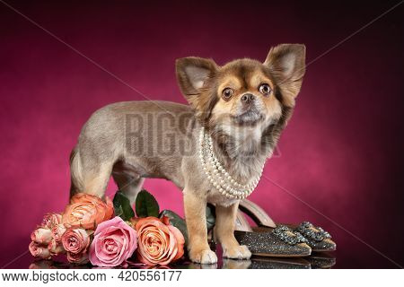 Well Groomed Chihuahua Dog  Stands Near Rose Flowers Bouquet And Women's Shoes. Purple Violet Backgr