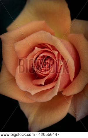 Close-up Of An Orange Rose In Full Bloom Filling The Frame. Macro Photography Of Flower With Blurred