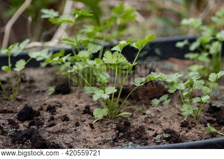 Small Coriander Plant Of The Species Coriandrum Sativum With Selective Focus